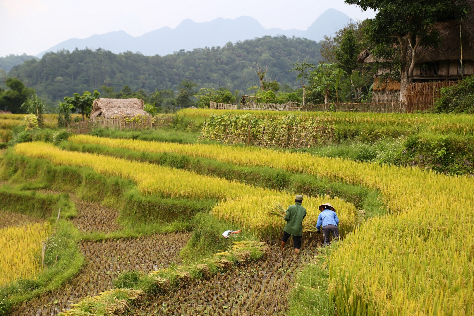 Hagiang - Harvest (1)