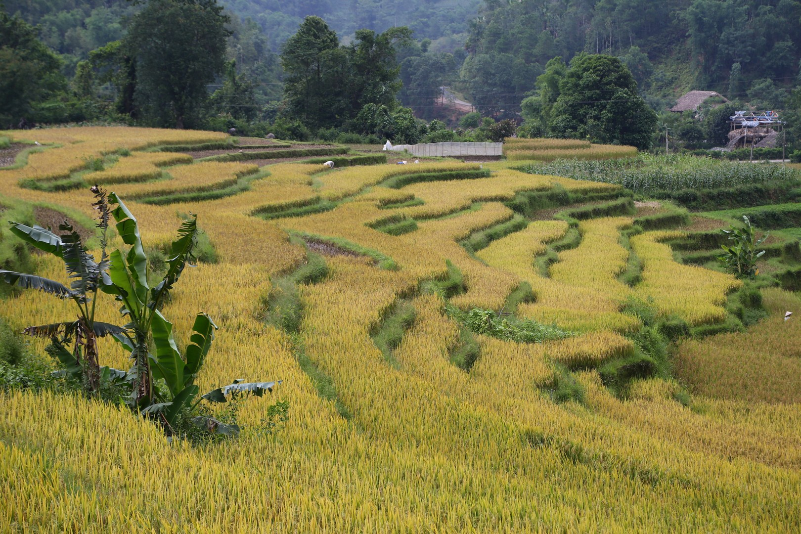 Hagiang - Harvest (3)
